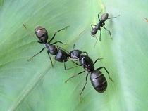 产卵繁殖蚁后 产卵蚁后 温度30度以上地区请不要购买,5天后发货 价格:30.00