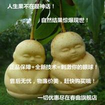 人参果,造型水果,水果苗,真正的人生果树苗,自然结果 价格:8.00