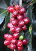 特价!Guatemala Acatenango Gesha 危地马拉 瑰夏 咖啡熟豆 100g 价格:98.00