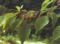 领春木种子 云叶树-正心木-木桃-种子 新采苗木种子 价格:110.00