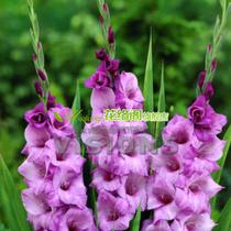 进口剑兰种球 紫英华紫 唐菖蒲 花色鲜艳 品种纯 建兰 花卉盆栽 价格:2.00