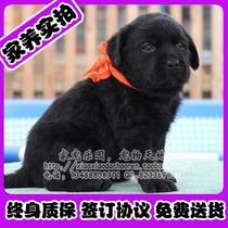 北京出售纯种拉布拉多寻回猎犬黄黑咖啡色拉不拉多犬幼犬超值可送 价格:1999.00