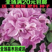 花卉种子 花草种子 植物种子 重瓣大牵牛花 别名:喇叭花 价格:2.48