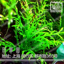 五皇冠 百草园水族馆 新几内亚柳 1支 水中叶 鱼缸中景水草造景 价格:15.80