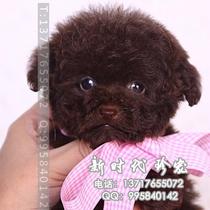 韩系泰迪 茶杯泰迪犬 韩系泰迪  泰迪熊幼犬 家养宠物犬 价格:2680.00