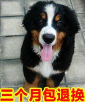 伯恩山犬纯种幼犬瑞士名犬大型犬古铜色北京天津送货上门3 价格:3800.00