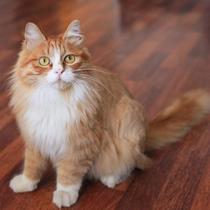 【可爱猫咪找领养】黄小小又来啦~ 价格:9999.00