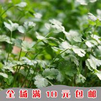 盆栽蔬菜种子 阳台种菜 四季大叶香菜种子 芫荽种子 四季可播 价格:1.00