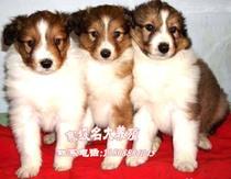 广州喜乐蒂狗狗 直销喜乐蒂犬幼犬赛级喜乐蒂 三色喜乐蒂狗场直销 价格:3000.00