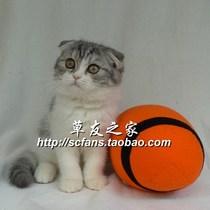 宠物猫/英国短毛猫/苏格兰折耳猫 银虎斑加白 双色MM(广州新家) 价格:3800.00