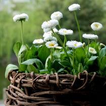 白色雏菊种子 盆栽花种子 玛格丽特小白菊 山花野花种子 100粒 价格:3.00