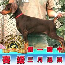 杜宾犬纯种德系立耳幼犬猎犬杜高犬宠物狗美系迷你杜宾E12 价格:7999.20