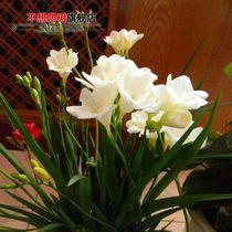 不想爬树 荷兰进口观花植物 重瓣香雪兰种球根 小苍兰 多色可选 价格:1.80