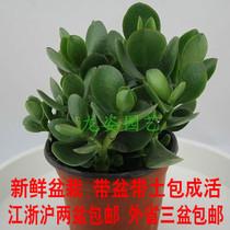 玉树 迷你盆栽 多肉植物防辐射 鲜花花卉天然氧吧净化空气GH 价格:15.00
