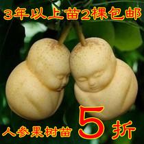 新品 人参果 水果苗 真正的人参盆栽果树苗自然结果 3年苗2棵包邮 价格:7.40