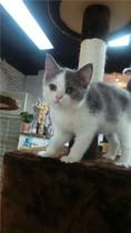 英国短毛猫蓝猫加白  DD 价格:3500.00