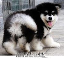 直销纯种狗狗阿拉斯加幼犬 阿拉斯加雪橇犬保健康 送货上门. 价格:10000.00