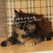 俊俊泰迪犬舍 异国短毛猫 加菲猫 猫咪有血统证书 支持支付宝交易 价格:4500.00