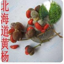 冬青种子 黄杨种子 国产北海道黄杨 四季常青植物 价格:30.00