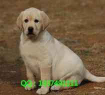 南京出售纯种的巡回猎犬拉布拉多幼犬 好养的 包健康大型犬 价格:3000.00
