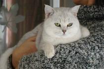 家庭繁殖纯种英国短毛猫*GG,立耳,2个月 价格:3000.00