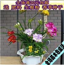 荷兰进口观花植物 重瓣单瓣香雪兰种球根 小苍兰 多色可选多年生 价格:1.14