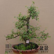 实拍 榆树盆景 微型榆树树桩 盆景盆栽 树桩造艺 价格:45.00
