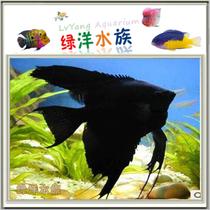 黑神仙鱼、燕鱼、磨燕鱼、热带鱼、观赏鱼、精品草缸鱼 价格:8.00