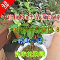 4年多分叉盆栽茶花大苗 十八学士 西施美人 当年开花 带花苞 包活 价格:19.80