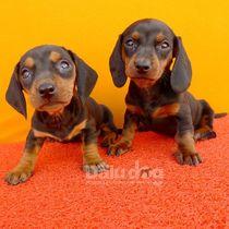 大陆犬业��腊肠幼犬 纯种腊肠犬 大耳朵狩猎犬 小型犬��003 价格:899.00