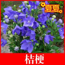 桔梗 花种子 盆栽植物花草花卉种子 阳台易种 室内盆栽 40粒 价格:5.10