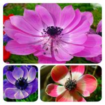 【预售】庭院花卉/进口银莲花种球/草药花卉种球 1个 价格:2.80