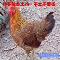 生态放养土鸡 农家散养农家土鸡 新鲜公母鸡笨母鸡柴鸡草鸡公鸡汤 价格:38.00