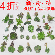 防辐射多肉植物 生石花 虹之玉 黄丽 小兔子 火祭 紫牡丹 玉露苗 价格:3.20