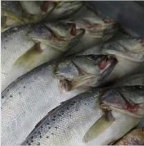 挪威冷冻三文鱼整条批发价出售 当天运到 只售33元一斤 每条15斤 价格:495.00