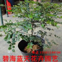 植树节疯抢 正品名贵苗木印度小叶紫檀树苗 珍稀苗木买20棵包邮 价格:1.50