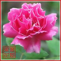 盆栽花卉*品种月季花*精品大花月季苗【奥克拉】二年苗 买十送一 价格:7.80