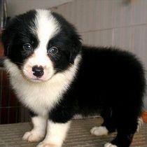 出售边境牧羊幼犬,可上门挑选, 包健康纯种 价格:1100.00