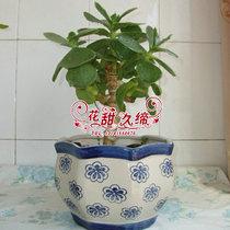 低价出售室内盆栽花卉净化空气  清雅别致 燕子掌 又名 玉树花 价格:18.00