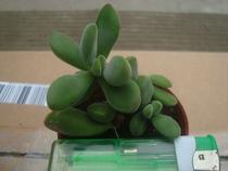 多肉植物 【若诗歌1】办公室 居家 防辐射 花卉 创意 盆栽 价格:3.80