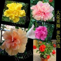 美丽的花卉-盆栽扶桑-黄色花-重瓣黄油球 木槿 扶桑大苗当年开花 价格:14.70