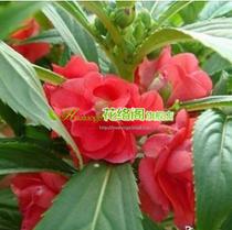 彩包花卉种子[凤仙花]小学生劳动课指定种植花卉| 价格:2.50