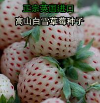 英国进口 高山白雪草莓种子 菠萝草莓  四季播种 阳台盆栽  20粒 价格:3.50
