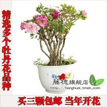 牡丹花卉 牡丹花苗 牡丹盆栽 5年苗 多品种 当年开花 牡丹苗 价格:7.73