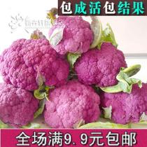 紫色花椰菜种子 花菜蔬菜种子 西兰花 营养价值高 适合各地栽培 价格:2.00