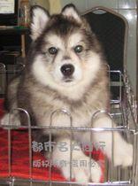 阿拉斯加雪橇犬 纯种阿拉斯加 桃脸阿拉 灰色阿拉斯加犬 血统纯正 价格:3888.00