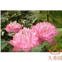 水生植物大型荷花莲藕  紫气东来  (根)块 种子 价格:7.20