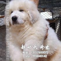 精品大白熊幼犬 大骨量 大头版 健康保障 纯种大白熊犬  特价出售 价格:5600.00