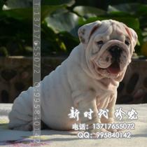 斗牛犬 英国斗牛犬 白色英牛 权威认证 保证纯种健康 签合同 价格:7500.00