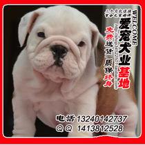 出售纯种英国斗牛幼犬纯种赛级斗牛犬纯种老虎狗英斗犬 斗牛犬 价格:8000.00